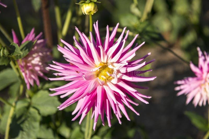 Färgglad blomma i trädgård arkivfoto