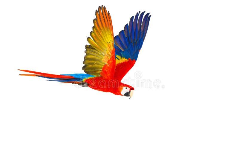 Färgglad flygpapegoja royaltyfria bilder