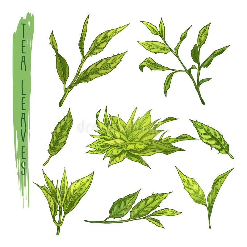 Färgglad uppsättning av tebladbeståndsdelar Vektoruppsättning med konturer av örtfilialer stock illustrationer