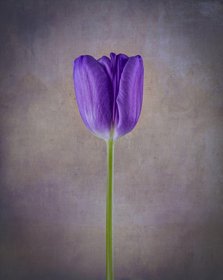 Färgglad violett artytulpan royaltyfria bilder