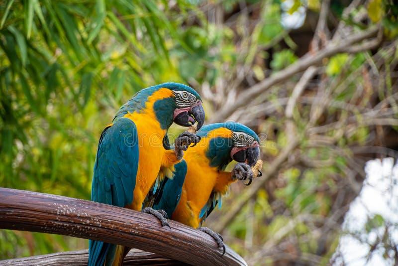 Färgglade arafåglar arkivbilder