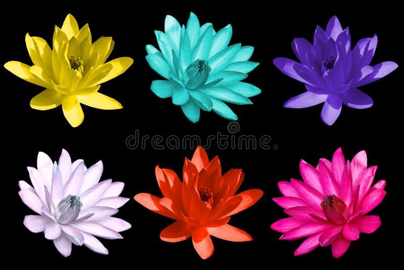 Färgglade isolerade lotusesyellowblåttlilor, vit, apelsin, rosa färg arkivfoto