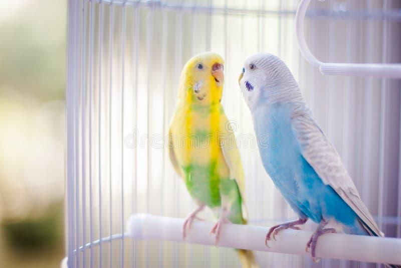 Färgglade papegojor i buren arkivfoto