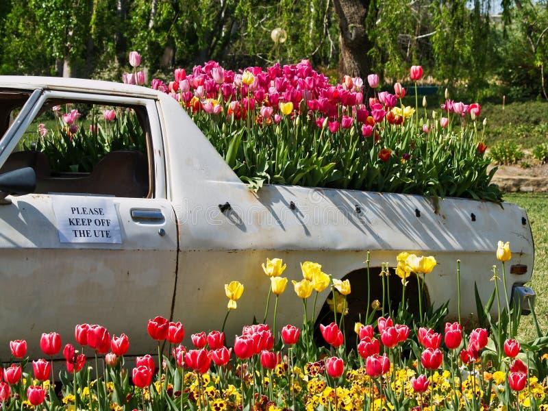 Färgglade tulpan som växer i baksidan av en lastbil arkivbild