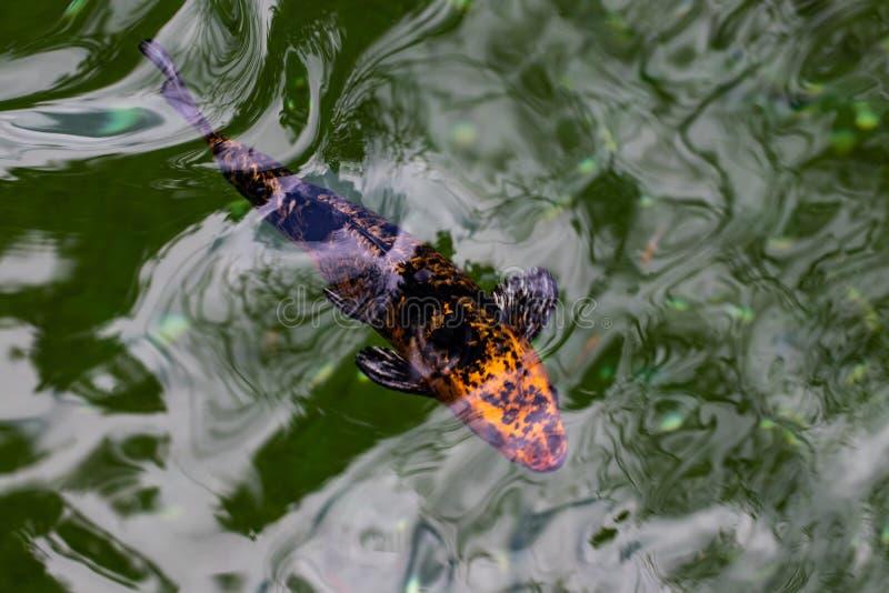 Färgglat charmigt Koi Carp Fishes inflyttningdamm Karpen fiskar bad under vattenyttersida arkivbild