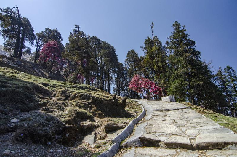 Färgglat träd enroute till Tungnath Shiva Temple, Chopta, Garhwal, Uttarakhand, Indien arkivfoton