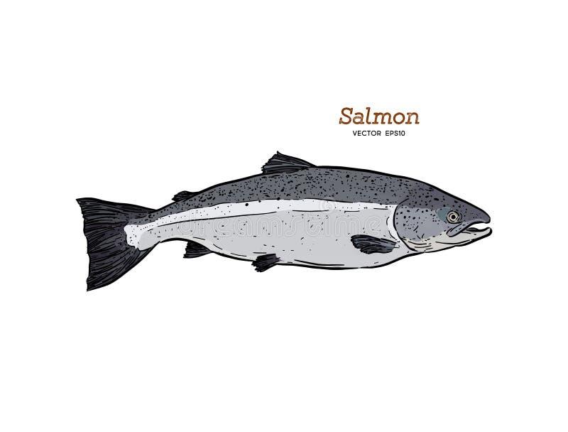 Färgpulver skissar av laxen Hand dragen vektorillustration av fisken stock illustrationer