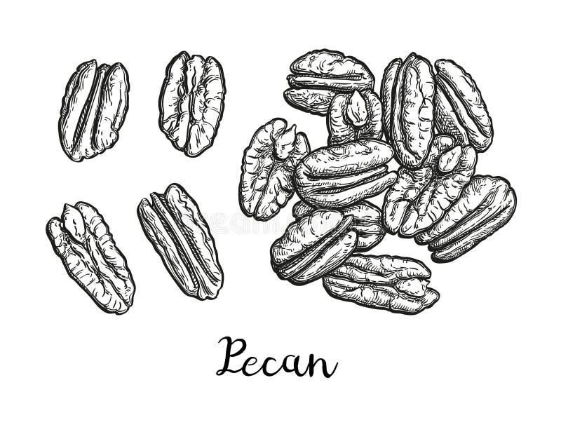 Färgpulver skissar av pecannöten stock illustrationer