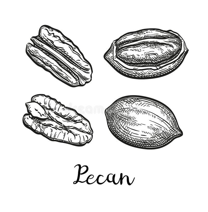 Färgpulver skissar av pecannöten vektor illustrationer