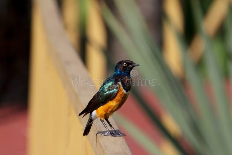 Färgrik afrikansk fågel royaltyfri fotografi