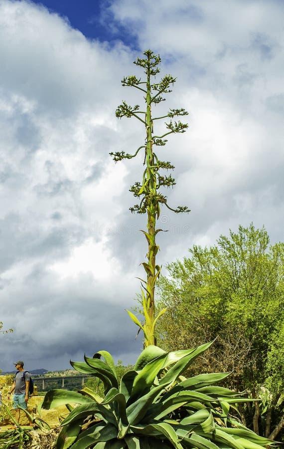 Färgrik Agaveväxt och blommor som upp når högväxt in i himlen av infödda växter i Sicilien royaltyfria bilder