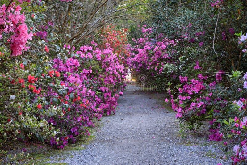 Färgrik Azalea Lined Garden Pathway Charleston SC arkivfoto