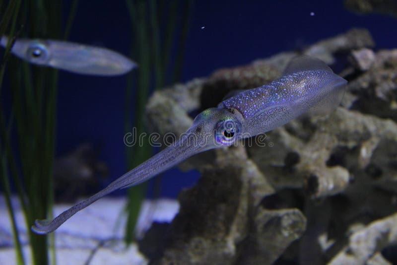 Färgrik bläckfisk arkivbild