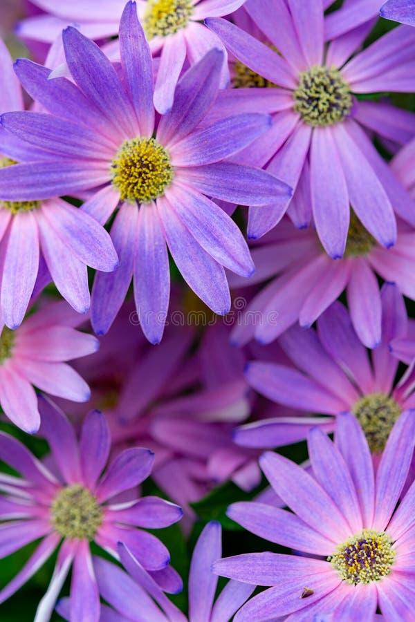 Färgrik blom- bakgrund med purpurfärgade och lila tusenskönor, tusenskönabakgrund royaltyfri fotografi