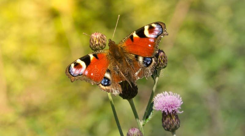 färgrik blomma för fjäril royaltyfri fotografi