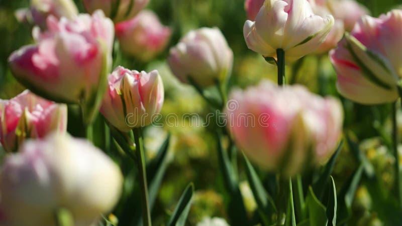 färgrik blommaträdgård Sikten av våren är mycket härlig och att bedöva royaltyfria foton