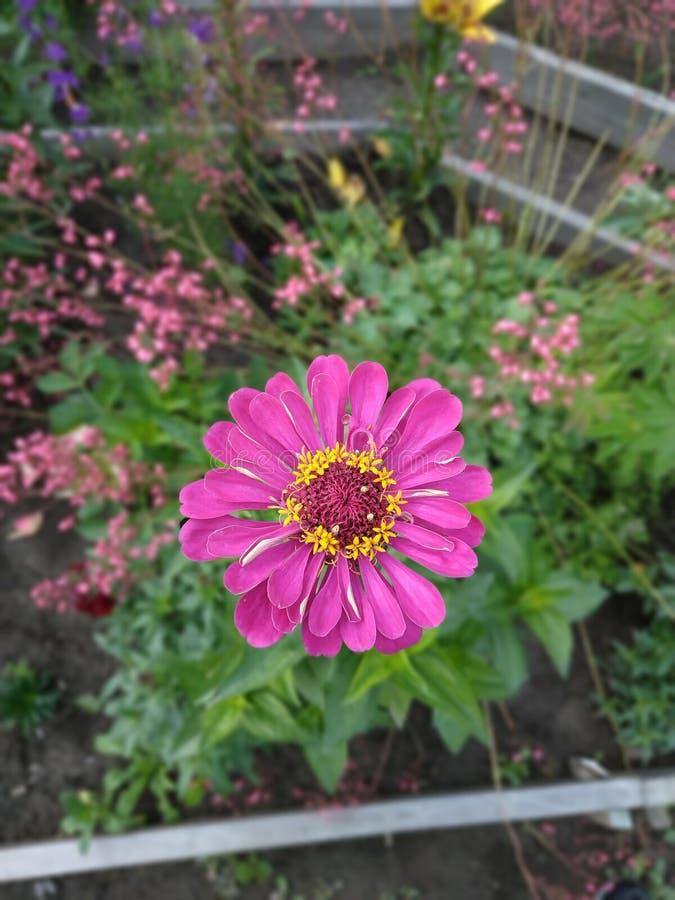 Färgrik blommazinnia arkivbilder