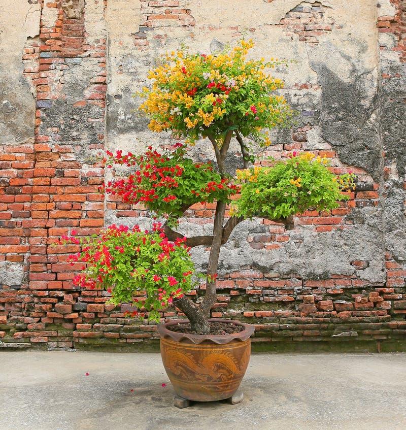 Färgrik bougainvilleablomma i kruka mot den gamla tegelstenväggen arkivbilder