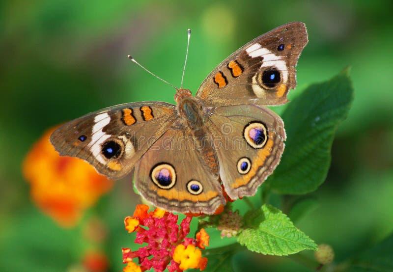 färgrik buckeyefjäril arkivfoto