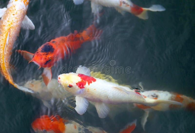 färgrik carp fotografering för bildbyråer
