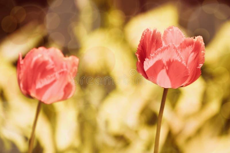 färgrik dagg dof tappar nya grunda fjädertulpan för blommor arkivbild
