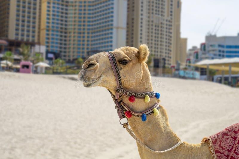 Färgrik dekorerad kamel på den sandiga Jumeirah JBR stranden i Dubai med skyskrapor fotografering för bildbyråer