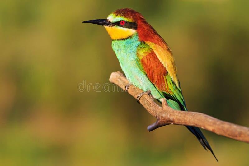 Färgrik exotisk fågel med röda ögon arkivbild