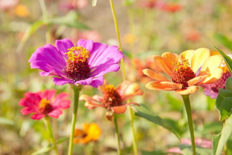 färgrik fältblommazinnia fotografering för bildbyråer
