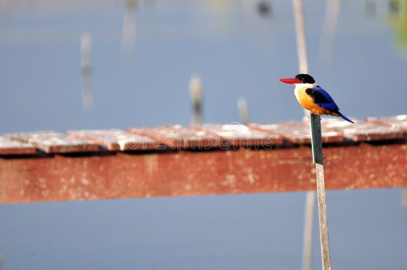 Färgrik fågel (denkorkade kungsfiskaren) arkivbild