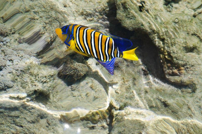 Färgrik fisk av Röda havet arkivbilder