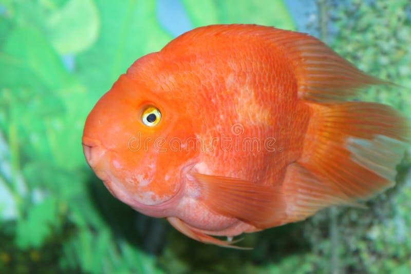 färgrik fisk för akvarium royaltyfri bild