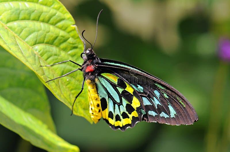 färgrik fjäril fotografering för bildbyråer
