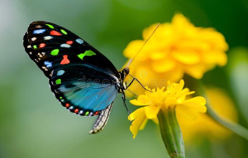 färgrik fjäril royaltyfri foto