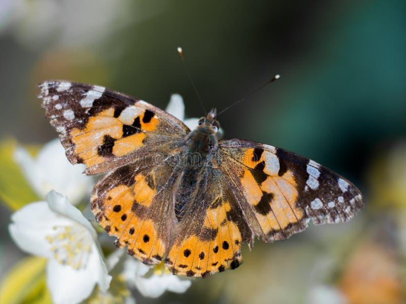 Färgrik fjäril på en jasminblomma arkivfoton