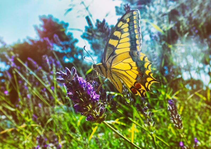 Färgrik fjäril på en lavendelblomma royaltyfri bild