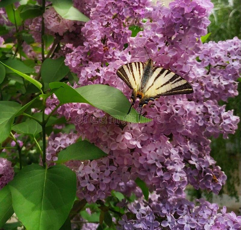 Färgrik fjäril på en lila Bush i trädgården royaltyfri bild