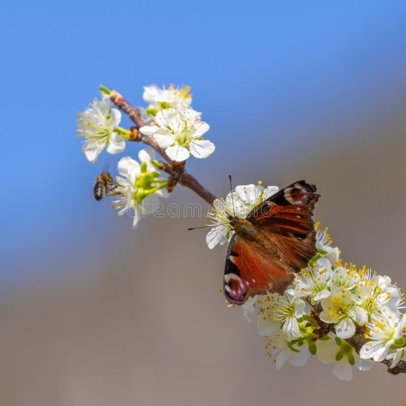 Färgrik fjäril som poserar på ett blommande träd i trädgården arkivbild