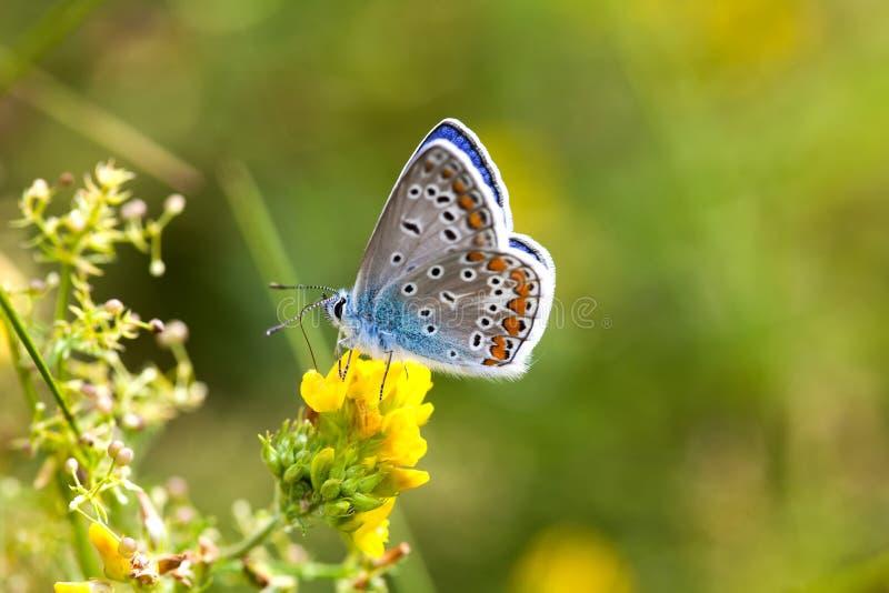 Färgrik fjärilscloseup Blå apelsin flor-påskyndade Polyommatus icarus på växt av släktet Trifoliumblomman Färg för grönska för so arkivfoto