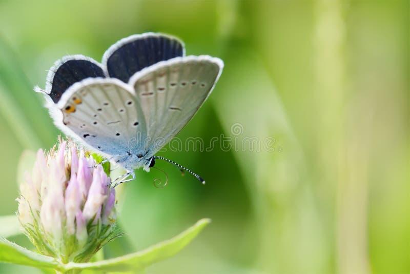 Färgrik fjärilscloseup Blå apelsin flor-påskyndade Polyommatus icarus på växt av släktet Trifoliumblomman Landskap för sommartid arkivbild