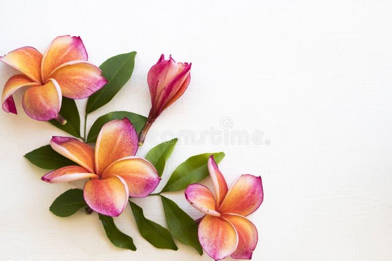 Färgrik flora för blommafrangipanilocla av asia på vitt arkivfoto