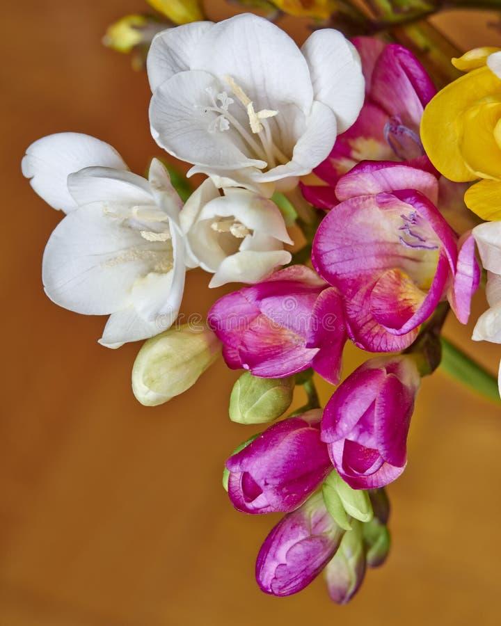 Färgrik freesia blommar closeupen royaltyfria bilder