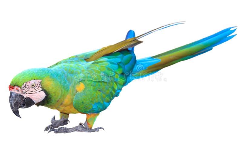 färgrik grön isolerad macawpapegoja arkivfoto