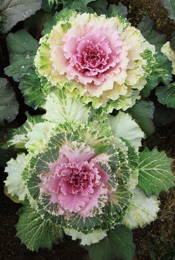 färgrik grönsak för kål royaltyfri foto