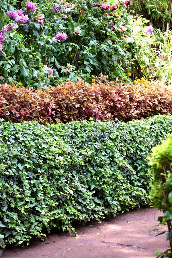 Färgrik häck i trädgården arkivbilder