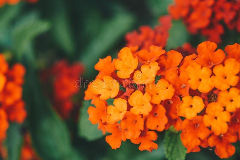 Färgrik häckblomma som gråter lantanaen, Lantanacamara Linn royaltyfri foto