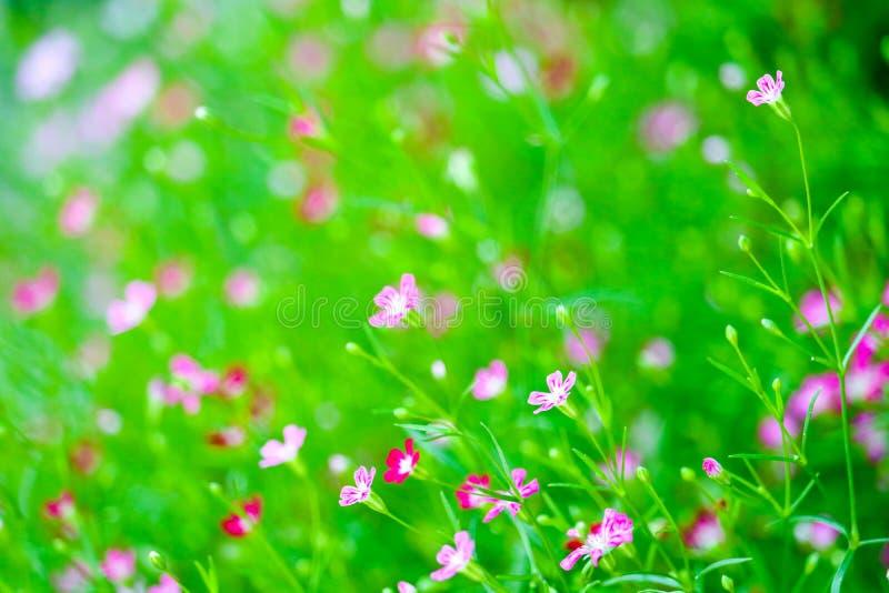 färgrik härlig rosa gypsophilaboutiqueblomma i trädgård royaltyfria foton