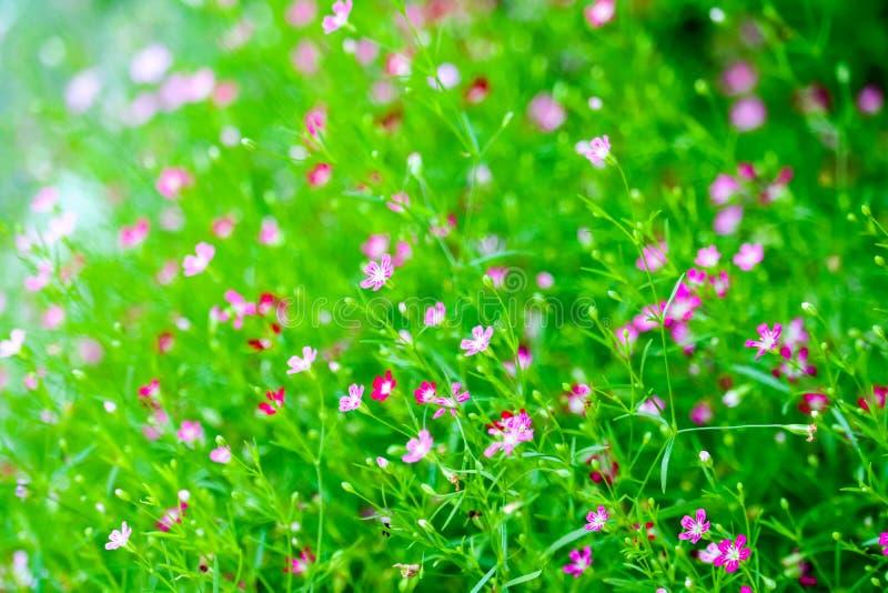färgrik härlig rosa gypsophilaboutiqueblomma i trädgård royaltyfri foto