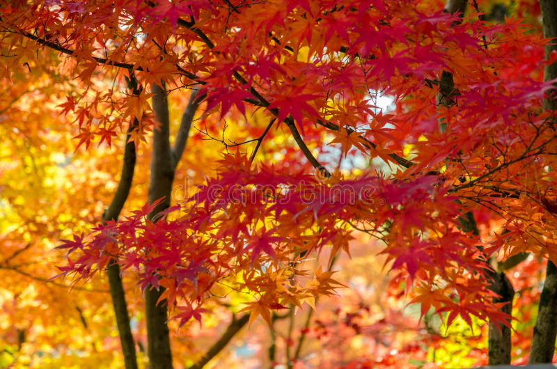 Färgrik höst, rött, apelsin och bladguld arkivbild