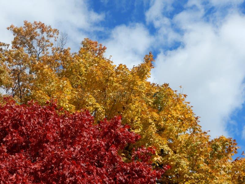 Färgrik höstlövverk mot blå himmel med pösiga vita moln fotografering för bildbyråer