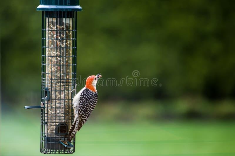 Färgrik hackspett på fågelförlagemataren i vår royaltyfria bilder